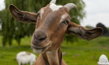 close up of goat